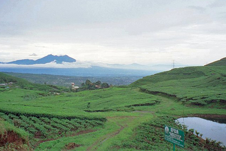 Puncak Tea Plantation (1)